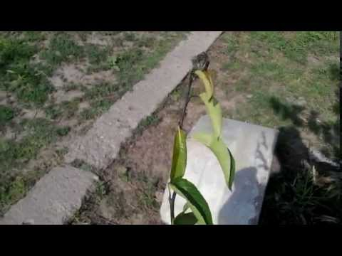 Învelișul corpului de vierme plat