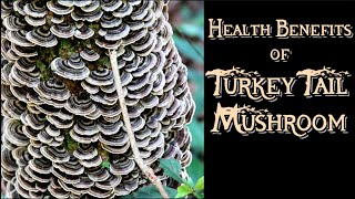 Health Benefits of Turkey Tail Mushroom