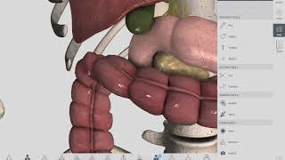 Colon | Large Intestine | Introduction | Anatomy