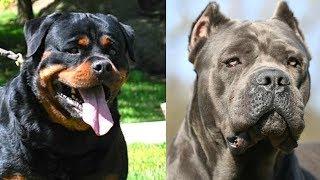 Top 10 mejores razas de  perros guardianes 2da parte