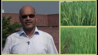 پی اے آر سی کے زرعی ماہر ڈاکٹ رمضان چاول کی فصل کے بارے میں اظہار خیال کر رہے ہیں۔