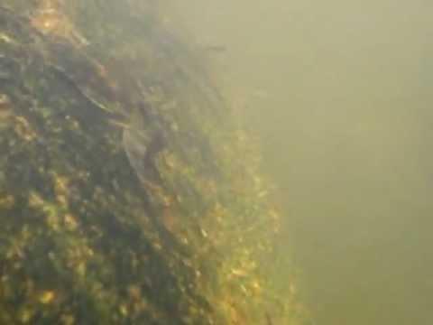 Harttia surinamensis