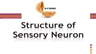 Structure of sensory Neuron in Urdu/Hindi
