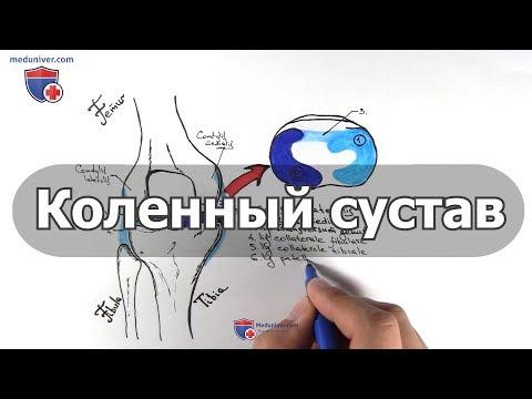 Анатомия коленного сустава - meduniver.com