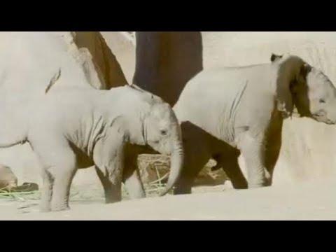 العرب اليوم - صغيران مِن الفيلة يلعبان بحديقة حيوان في كاليفورنيا