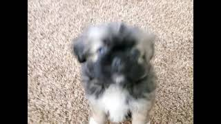 Pekingese Puppies Videos