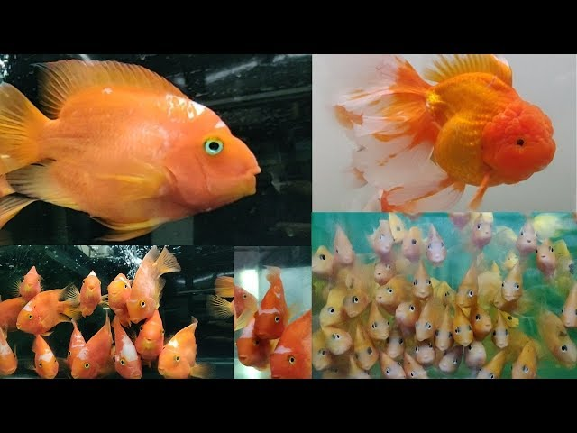 Parrot Fish, Oscar Fish, Gourami Fish, Cichlid Fish at AMart Aquatic World