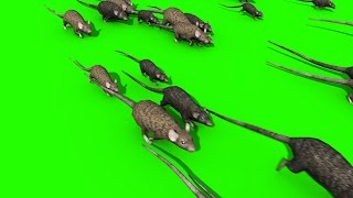 Green Screen Invasion of Rats Mice Mouse Sniff - Footage PixelBoom