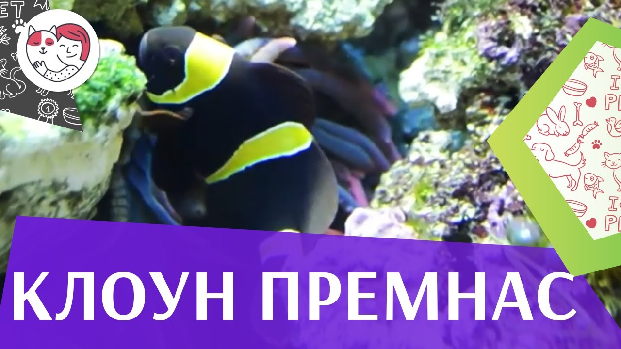 Клоун премнас трехполосый на ilikepet
