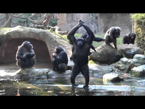 Monkey E-cards, We saw these Bonobos at the Barcelona Zoo Someone..