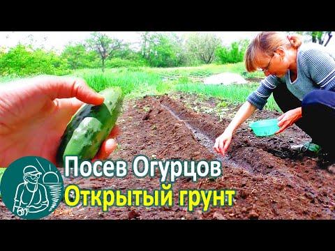 🍅 Посадка огурцов семенами в открытый грунт