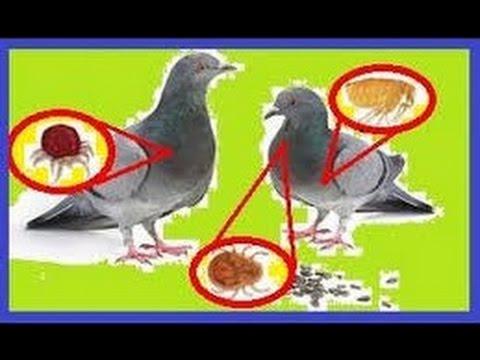Kal a los huevos la lombriz por el método