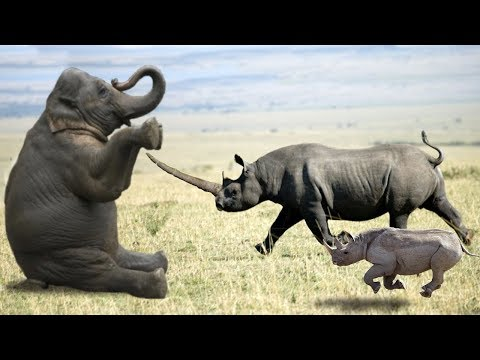 Elephant vs Rhino Real Fight - Ephant Shows Who's Boss and the unexpected