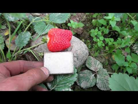 Клубника сорт Альба. Обзор зрелой крупноплодной гигантской ягоды, первого большаягода плодоношения.