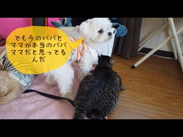 【保護猫】今のパパとママが本当のパパとママなんだぞって犬に説得される子猫たち