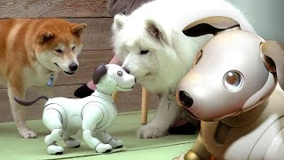 Dogs react to Aibo