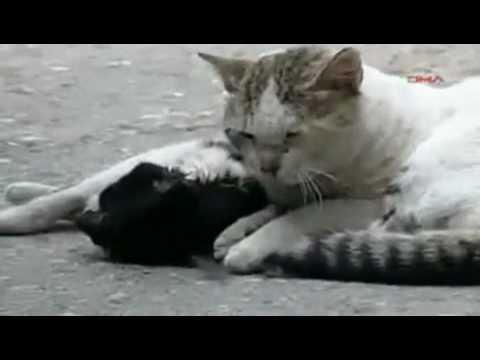Chú mèo cố gắng cứu bạn bị ô tô đâm