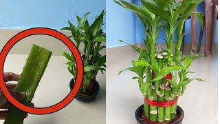 How to grow lucky bamboo fast using aloe vera gel