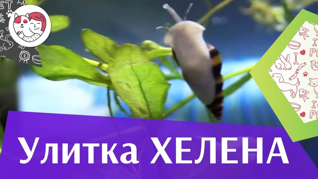 Улитка хелена Кормление на ilikepet