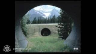 Banff National Park - Survival On The Move