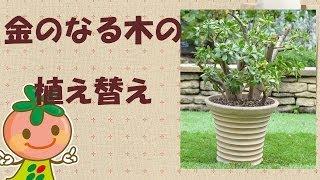 ガーデニング金のなる木植え替え花ごころ