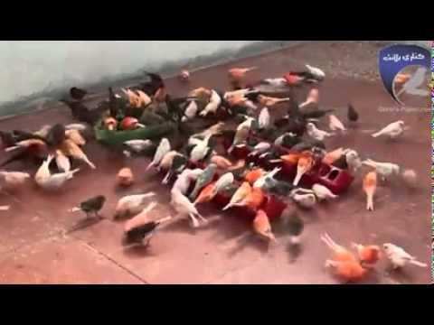 Video Cara Gampang Belajar ternak burung Kenari Lokal oleh bang ipul