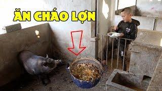 Ăn Cháo Lợn - Mao Đệ Đổi Thức Ăn Cho Lợn Để Được Béo Như Lợn