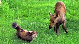 Кошка Джинджер и лоси