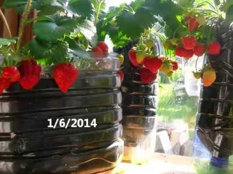 comment traiter les fraisiers