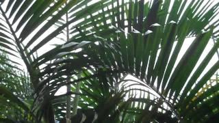 Areca-bambu (Dypsis lutescens)