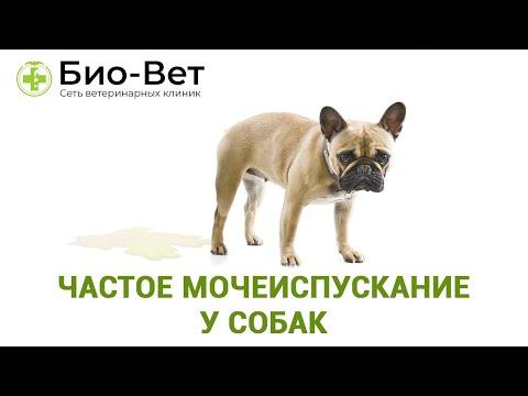 Частое мочеиспускание у собак. Ветеринарная клиника Био-Вет.