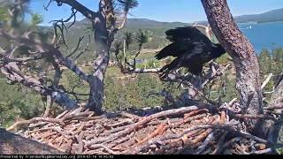 Big Bear Bald Eagle Nest Cam - Simba, What Have I Done  7_18_2019 14:40:37 PM