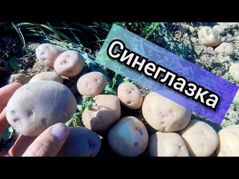"""Картофель """"синеглазка"""" урожай 2018 г."""