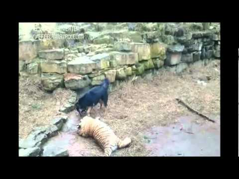 Tiger VS Dog In Riga Zoo, Travelme.tk