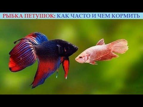 , title : 'Рыбка петушок: как часто и чем кормить? Полезные советы