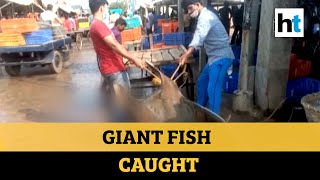 Watch: Giant fish weighing 800 kg caught off Digha coast, sold for Rs 50,000