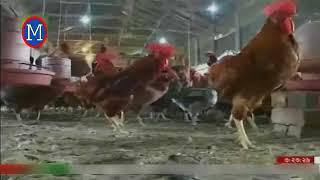 মুরগির খামার কিভাবে শুরু করবেন   Poultry Farming In Bangladesh