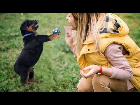 The Smartest 8 Weeks Old Rottweiler Puppy Doing Awesome Tricks 🔥