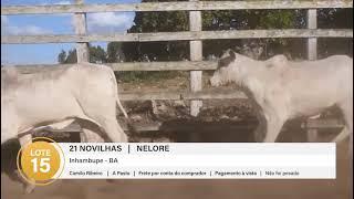 21 NOVILHAS NELORE