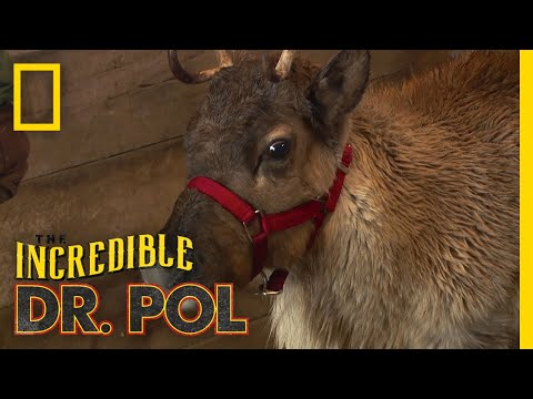 Keeping an Eye on a Reindeer | The Incredible Dr. Pol