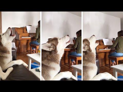 Урок вокала для хаски