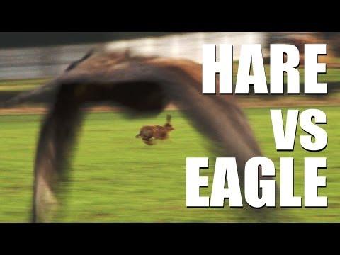 Fieldsports Britain – Hare vs eagle + British wild boar + Welsh miners hunting