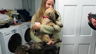 Finn Comes Home - A New Great Dane Puppy