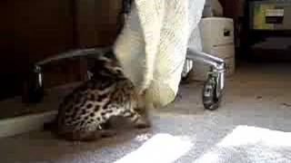 Asian Leopard Cat Mom and Cub