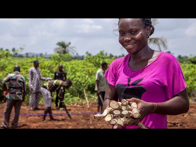 Adopting Best Practices for Increase in Yield The PIND Cassava Demonstration Plot Intervention