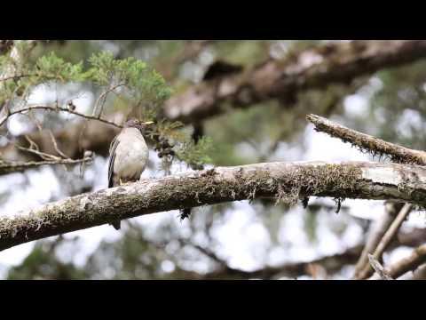 Turdus assimilis