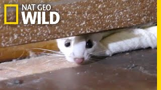 This Furry Creature Weaseled Its Way Into a Home, Got Rescued | Nat Geo Wild