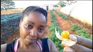 Growing Cape Gooseberries for the 1st time | Superfood