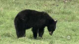 Black Bear Gender Identification