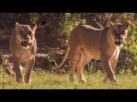 Lion cubs head dangerously close to village | Natural World: Desert Lions | BBC Earth
